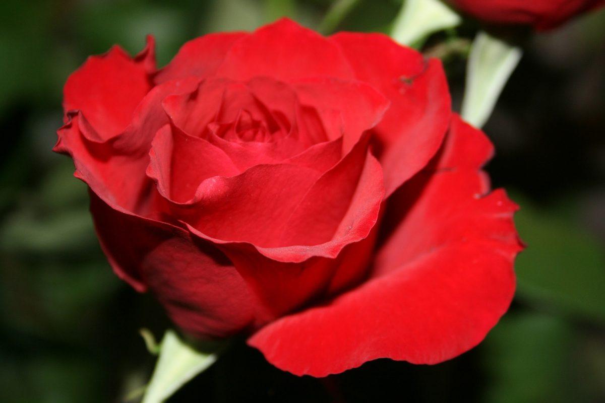Sant Jordi roses